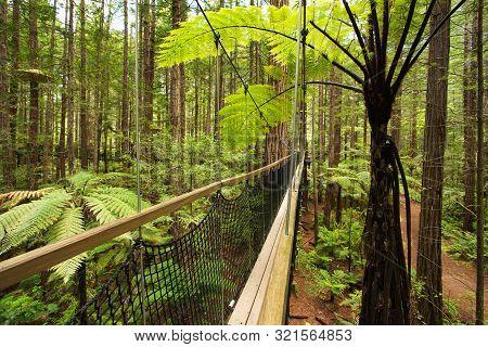 Treewalk Through Forest Of Tree Ferns And Giant Redwoods In Whakarewarewa Forest Near Rotorua, New Z
