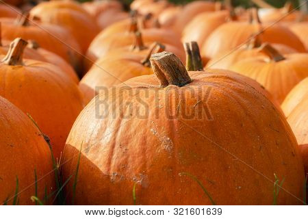 Edible Squash Close-up. Orange Pumpkins On Harvest Day. Autumn Market Arrangement With Orange Pumpki