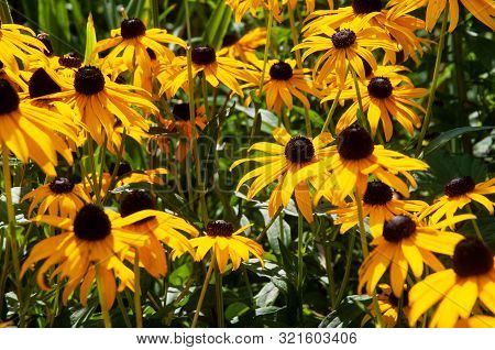 Rudbeckia Hirta Or Black-eyed Susans In Flowerbed In Ornamental Garden