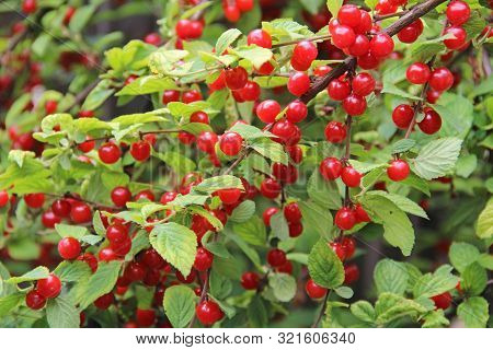 Red Nanking Cherries On A Tree In The Early Summer. Prunus Tomentosa, Cerasus Tomentosa.