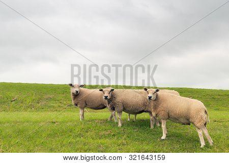 Three Curiously Looking Sheep