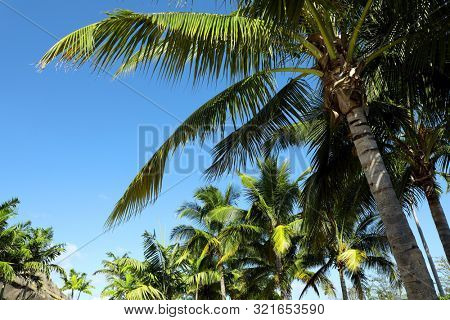 Group of close up tall palm trees over clear blue sky in Florida, USA