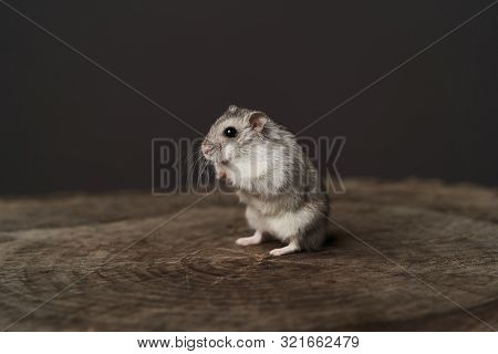 Small Domestic Hamster. Dwarf Hamste. Little Pet Hamster
