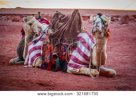 Jordanian Camels In Wadi Rum Dessert Resting Before Long Hot Day