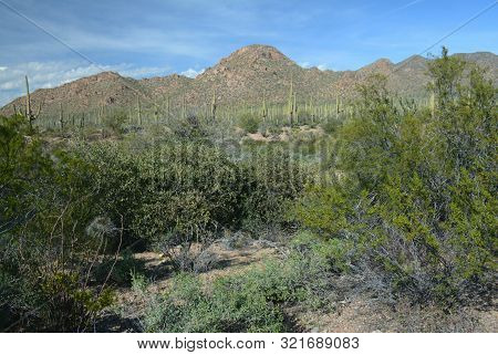 Panoramic Winter Vista On Sonora Desert Flora And Hillsides, At Scenic Saguaro National Park In Sout