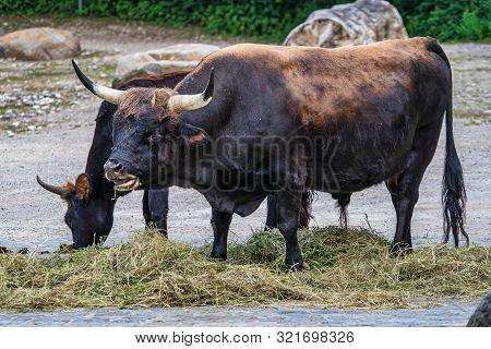 Heck Cattle, Bos Primigenius Taurus Or Aurochs In The Zoo