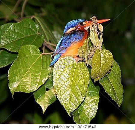 Kingfisher on the Kinabatangan River, East Malaysia