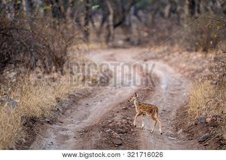 Cute Fawn Of Spotted Deer Or Chital Or Cheetal Or Chital Deer Or Axis Deer Or Axis Axis In Middle Of