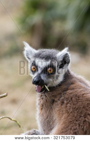 Surprised Face. Shocked Wide-eyed Lemur With Open Mouth. Funny Animal Meme Image. Ring-tailed Lemur