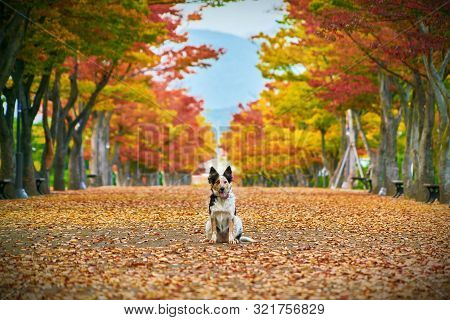 The Dog Poses For A Photo In The Center Of The Park Alley In Autumn Against The Background Of Colorf