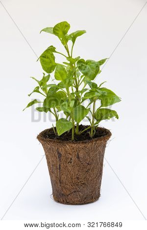 Watercress With Coconut Coir Fiber Pot Isolated On White Background, Organic Vegetables