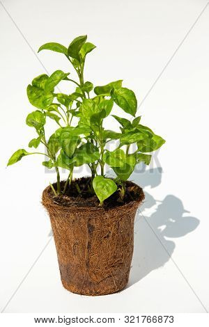 Watercress With Coconut Coir Fiber Pot On White Background, Organic Vegetables