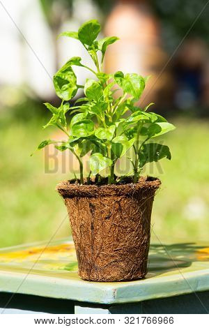 Watercress With Coconut Coir Fiber Pot On Chair In The Garden, Organic Vegetables