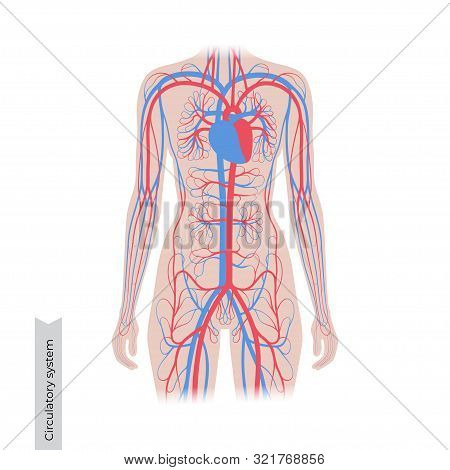 Vector Isolated Illustration Of Human Arterial And Venous Circulatory System Anatomy In Woman Silhou