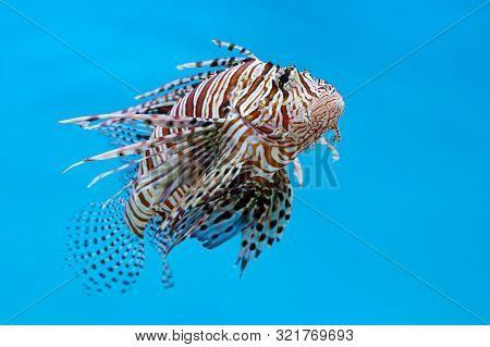 Lionfish, Zebrafish, Turkeyfish, Firefish, Butterfly-cods (pterois Sp.) A Venomous Marine Fish On Bl
