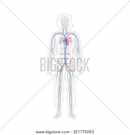 Vector Isolated Illustration Of Human Arterial And Venous Circulatory System Anatomy In Obese Woman