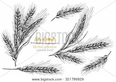 Set Botany Hand Drawn Sketch Ears Of Wheat Sheaf Isolated On White Background. Engraving Style. Herb