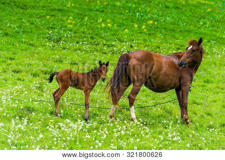 Portrait Of Horse Mom With Foal On A Green Meadow