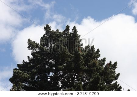 This Is An Image Of The Top Of A Blue Spruce Tree With Clouds Overhead.