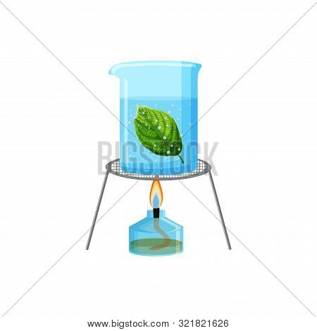 School Laboratory Experiment Of Boiling Green Leaf In Water. Starch Or Photosynthesis Test.