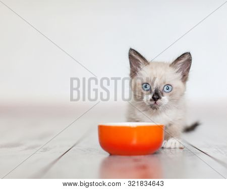 Kitten eating food from bowl. Little cat eating at home