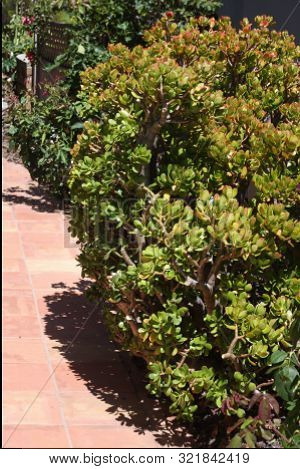 This Is An Image Of A Large Jade Plant Growing In Carmel, California.