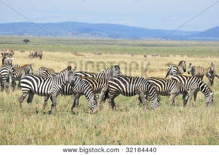 Zebras Serengeti Tanzania