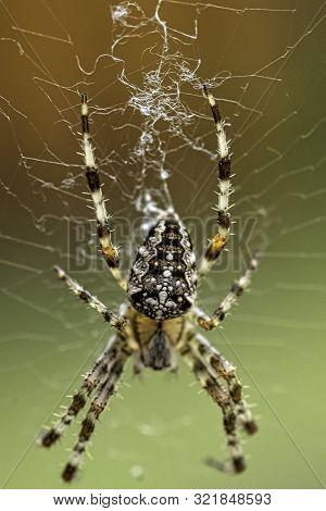 Araneus Diadematus Is Commonly Called The Crowned Orb Weaver, European Garden, Diadem, Orangie, Pump