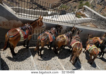 Saddled mules or donkeys waiting for tourists to carry up or down the cliff from the old port at Fira Santorini to the town above. poster
