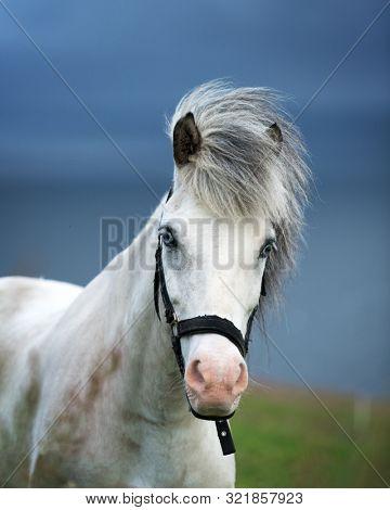 Portrait of white icelandic horse with blue eyes closeup