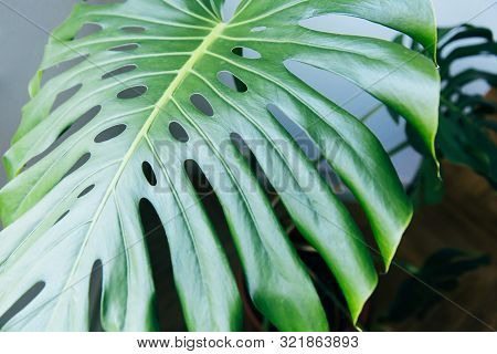 Exotic Tropical Monstera Palm Leaves. Green Leaves Of Monstera Palm Or Split-leaf Philodendron. Mons