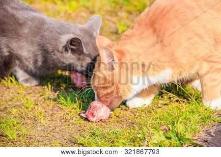 Feeding Domestic Cats. A Lot Of Cats. Clean, Well-groomed Cats Eat On The Grass. Pets.