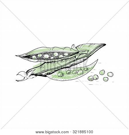 Green Peas Sketch. Hand Drawn Careless Vegetables Green Peas And Pea Pods. Vector Illustration On Wh