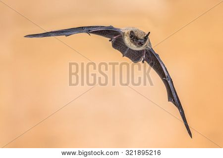 Flying Pipistrelle Bat (pipistrellus Pipistrellus) Action Shot Of Hunting Animal On Brown Background