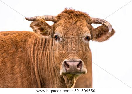 Funny Cow Portrait Of Young Cattle With Asymmetric Horns On White Background