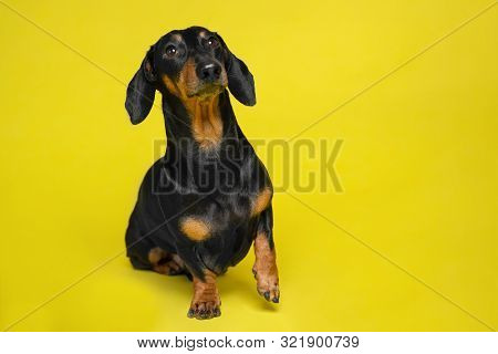 Black And Tan Curious Cute Dachshund Sitting On The Isolated Yellow Background. Dog Training. Space