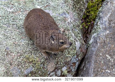 Common Rock Hyrax, Rock Dassie (procavia Capensis Capensis) On Rock N Natural Habitat