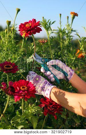 hands of gardener cutting red peonies by garden scissors