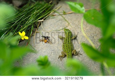 Lizard On A Stone Close-up. Black Beetle On The Grass And On Ground