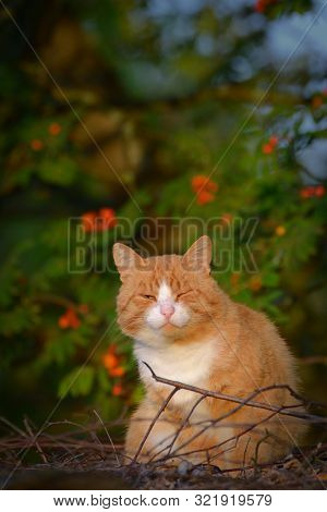 Funny Red Cat Squints With One Eye Against The Backdrop Of Rowan Tree