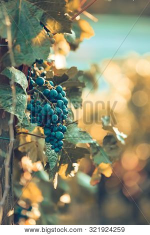Reife Rotweintrauben An Einer Weinrebe Bei Sonnenuntergang