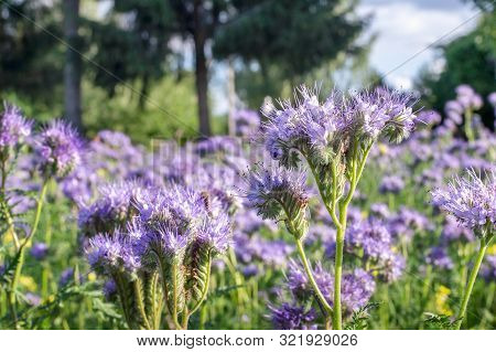 Phacelia Tanacetifolia, Species Of Phacelia Known By The Common Names Lacy Phacelia, Blue Tansy Or P