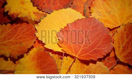 Autumn Leaves Of Aspen. Fallen Yellow Red Leaves Background Texture Close-up Autumn Carpet Of Aspen