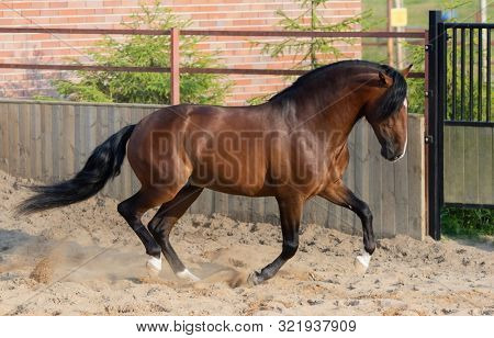 Bay Andalusian horse gallops in paddock.