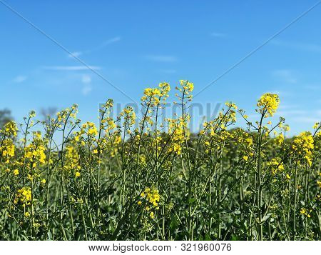 Blooming Rapeseed Field Against Blue Sky