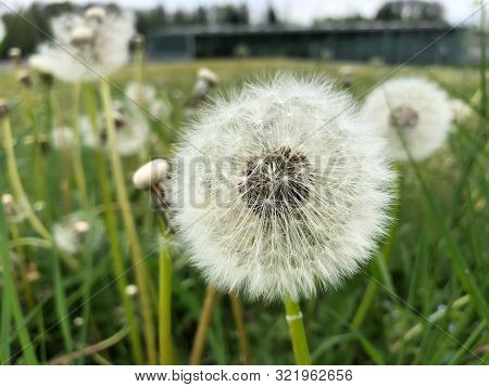 Green Meadow In Summer With Dandelions