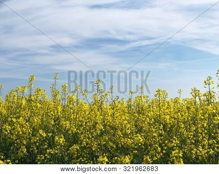 Canola Flowers Field In Switzerland