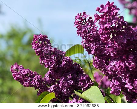 Blooming Lilac Flowers On The Tree