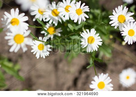 White Chamomile And Chrysanthemum In The Garden.