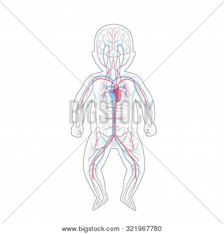 Vector Isolated Illustration Of Human Arterial And Venous Circulatory System Anatomy In Baby Silhoue